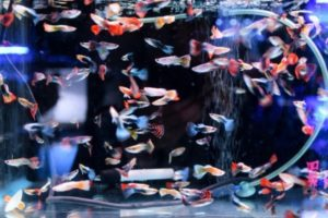 5 Common Methods How to Control Guppy Population