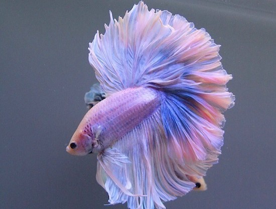 Multicolour Betta Fish