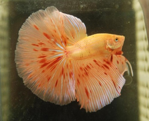 Orange Dalmatian Betta Fish