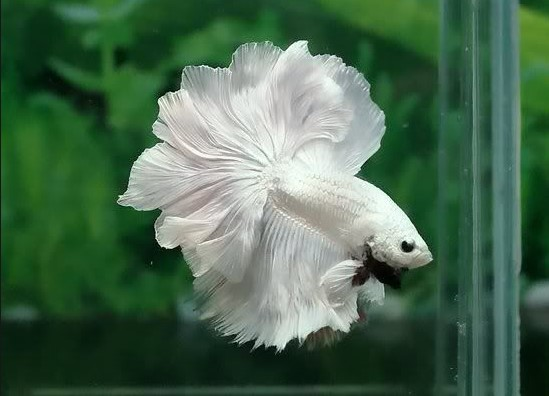 rosetail betta fish