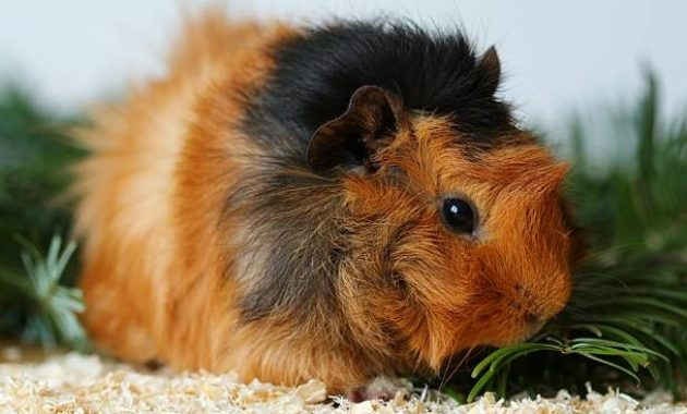 Types of Guinea Pig Breeds