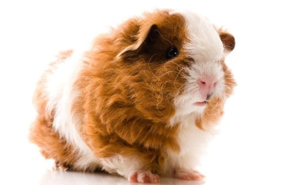 Different Types of Guinea Pig Breeds