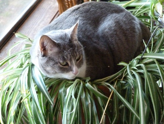 Are Spider Plants Poisonous to Cats? [Safe Plants and Poisonous Plants for Cats]