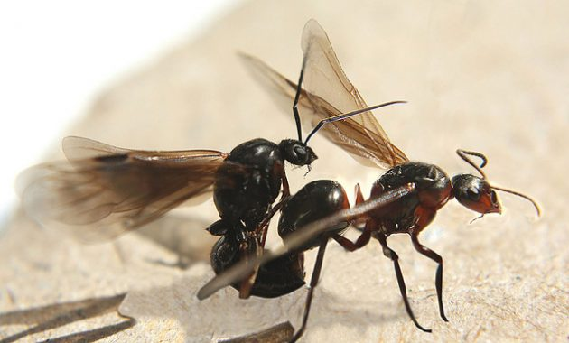 An In Depth Look At Ants With Wings
