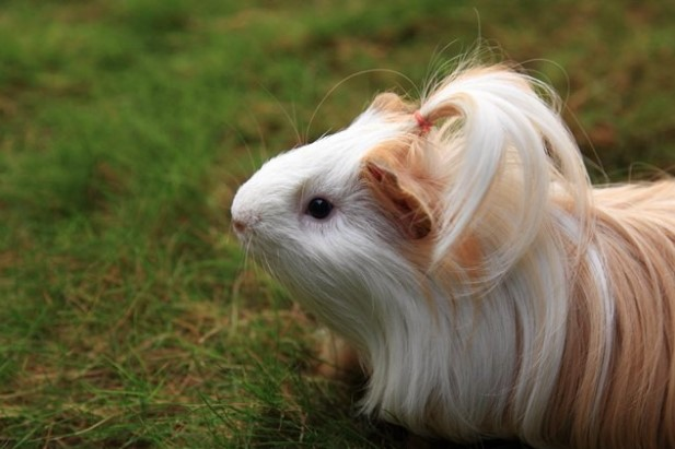Different Types of Guinea Pig Breeds.