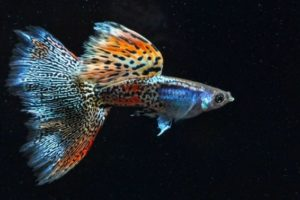35+ Different Types of Guppies In The World With Beautiful Pictures