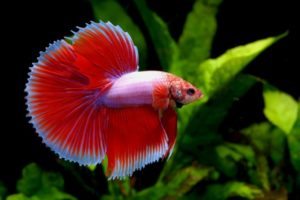 35+ Different Types of Betta Fish ( with Beautiful Pictures )