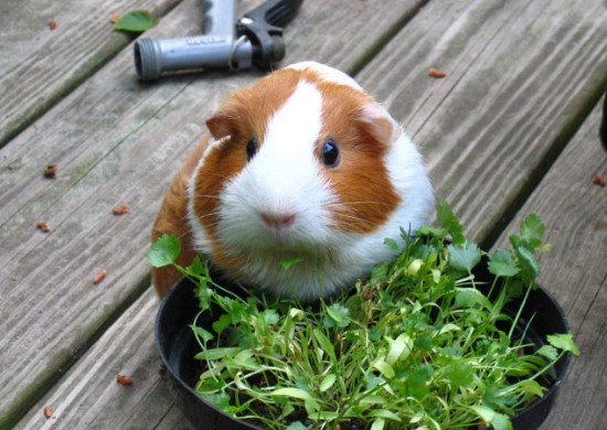 About Guinea Pig: What Do Guinea Pigs Eat? A Critical Guide to the Cavy Diet