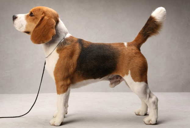 Different Types of Beagles