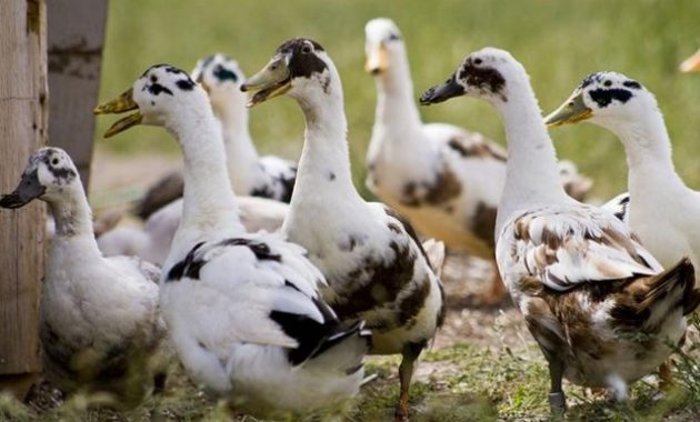 Different Types Of duck
