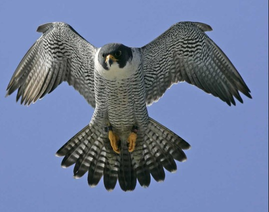 Different Types Of Falcon