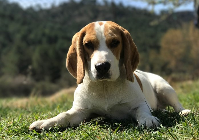 8 Different Types of Beagles You Should to Know