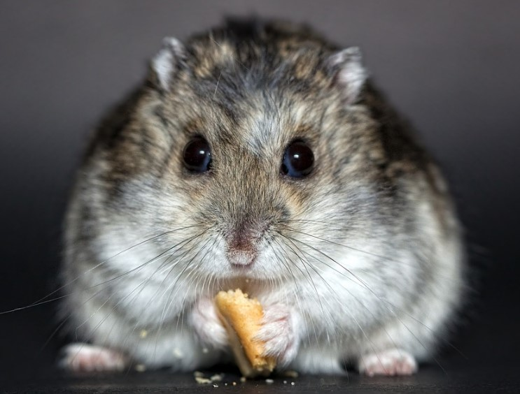6 Types of Most Popular Hamster Breeds