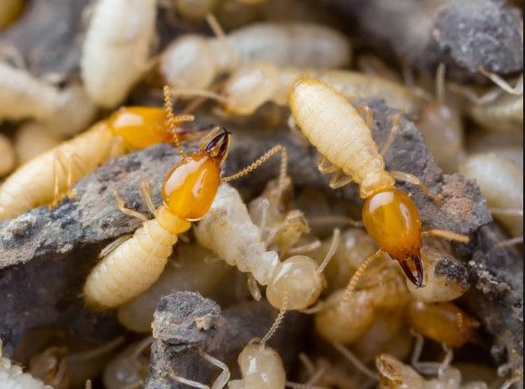 All About Termites: Facts, Signs, Droppings, And Prevention
