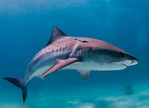 8 Classifying the Different Types of Sharks
