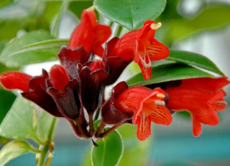 Quick Introduction and How to Grow Lipstick Plant