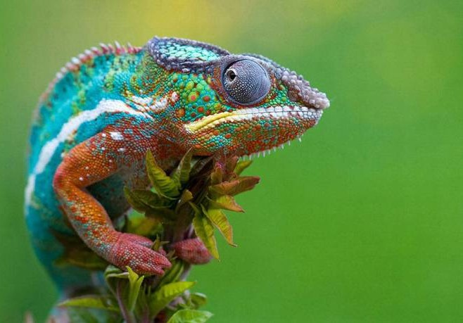 5 Different Types of Chameleons