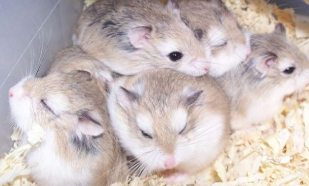 Types of Most Popular Hamster Breeds