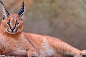 Caracal, Amazing and Exotic Feline as a Pet