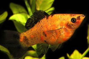 12 Most Popular Types of Molly Fish